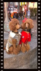 Woahhh... Sitting calmly large breed poodles.  Btw, are they twins? Dress-up doggies are norm in Taiwan.